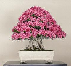 Salvator vincenzo rosati nel giardino di william rose for Bonsai comprare