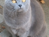 wikimedia-Chartreux_cat_J_adult_female_001